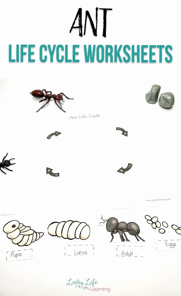 Ant Worksheets for Preschoolers Printable Ant Life Cycle Worksheets