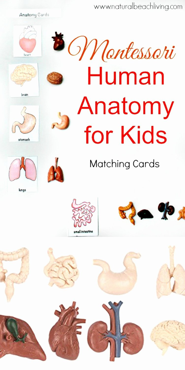 Montessori Worksheets for Preschoolers New Math Worksheet Math Worksheet Montessori Human Anatomy Pin